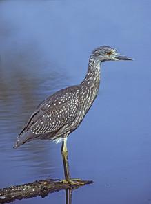 Yellow-crowned Night-Heron, juvenile, Se