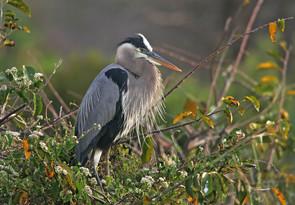 Great Blue Heron adult.jpg