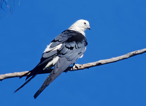 Swallow-tailed Kite, adult perched, FL,