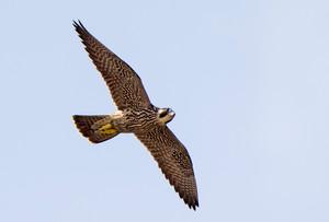 Peregrine Falcon juv 2, Sept, NJ large j