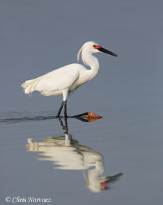 Snowy Egret breeding, April, FL by Chris