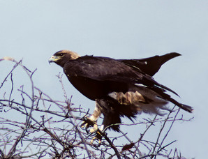 Golden Eagle, juvenile, Cape May NJ, Nov