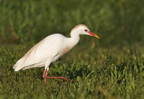Cattle Egret, adult breeding, TX, April.
