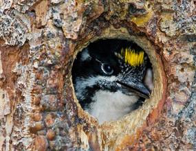Northern Three-toed Woodpecker chick, BC