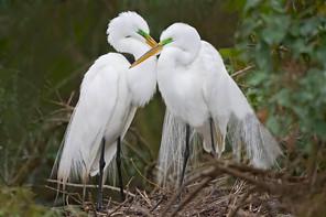 Great Egrets at nest, FL, Feb.jpg