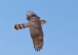 Cooper's Hawk, adult, Oct 2010.jpg