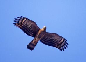 Hook-billed Kite, adult female, TX, Feb.
