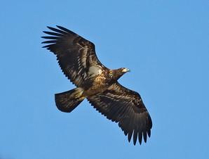 Bald Eagle, first year, AK, May.jpg