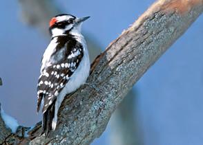 Downy Woodpecker male Feb.jpg