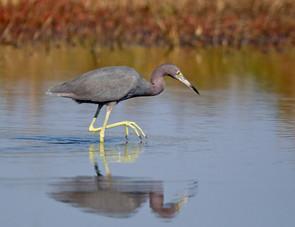 Little Blue Heron, adult nonbr, FL, Jan.