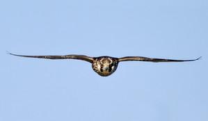 Peregrine Falcon juv horiz expanded web.