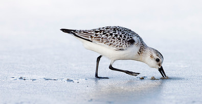 Small Sandpipers
