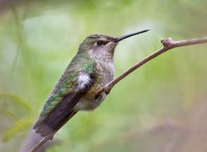 Anna's Hummingbird, immature female, TX,