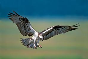 Osprey landing, NJ, July.jpg