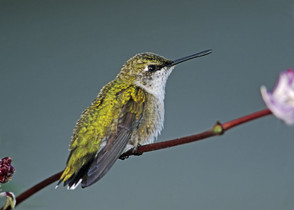 Ruby-throated Hummingbird, immature, NJ,