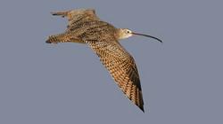 Shorebirds: Amazing Global Wanderers