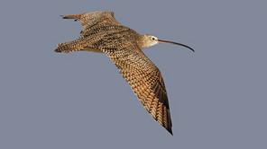 Long-billed Curlew, flt dorsal, TX, Sep_