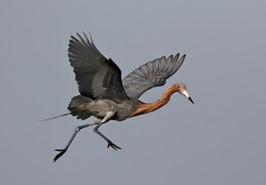 Reddish Egret sky dancing, TX, Ap.jpg