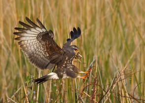 Snail Kite landing by Kevin Karlson.jpg