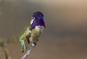 Costa's Hummingbird, male, CA, Feb.jpg