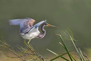 Ticolored Heron, TX, Nov.jpg