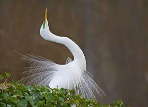 Great Egret, courtship display, FL, Jan.
