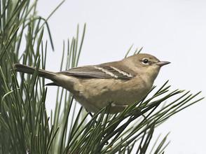 Pine Warbler, imm female, Oct, NJ.jpg