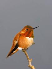 Rufous Hummingbird, adult male.jpg