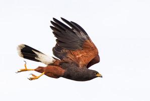 Harris' Hawk, TX, Nov.jpg