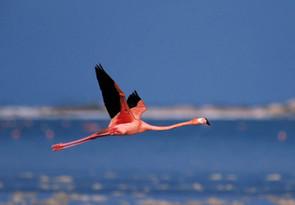 Greater Flamingo, Inagua, Bahamas, Mar.j