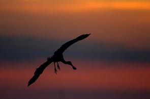 Roseate Spoonbill landing at sunset, FL,
