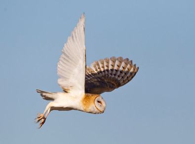 Barn Owl flight, OR, Feb 2013.jpg