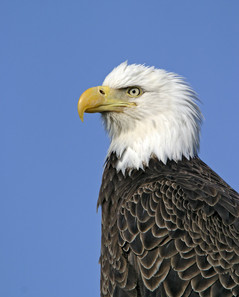 Bald Eagle adult head shot, wild bird, A