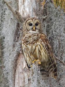 Barred Owl, Florida, January 08.jpg