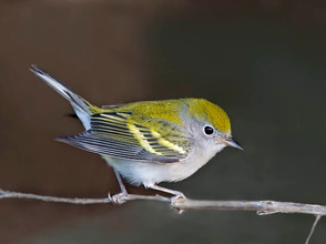 Chestnut-sided Warbler, imm fall female,