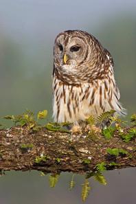 Barred Owl at raptor shoot, FL, April.jp