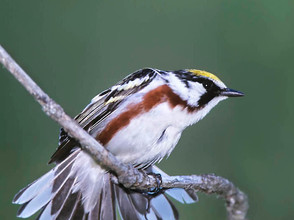 Chestnut-sided Warbler, male br, NY, Jun