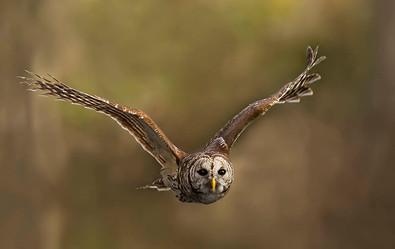 Barred Owl, flt, FL, Jan .jpg