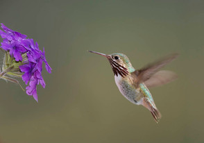 Calliope Hummingbird, male, BC, July.jpg