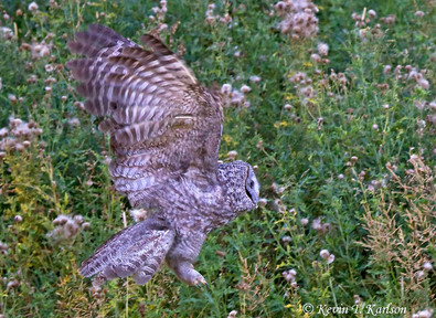 Great Gray Owl 2, Yellowstone NP, Sep we