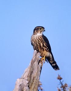 Merlin, female, VA, Oct.jpg