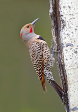 Northern Flicker, hybrid Red-shafted-Yel
