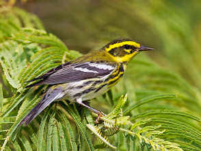 Townsend's Warbler, S Padre Is, TX, 11-1