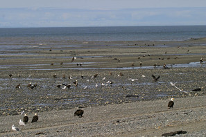 Bald Eagles on beach, AK.jpg
