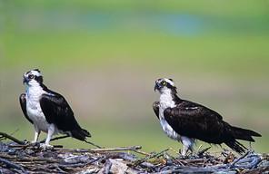 Osprey male (L), female, NJ, July.jpg