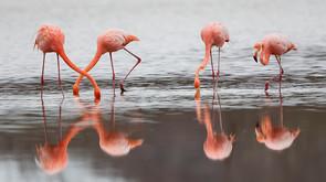 Greater Flamingos, Galapagos Is, Oct.jpg