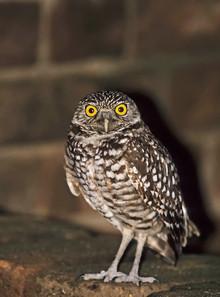 Burrowing Owl inside Fort Jefferson, Dry