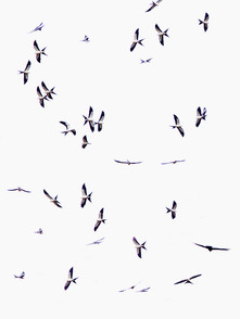 Swallow-tailed Kites migrating,Costa Ric
