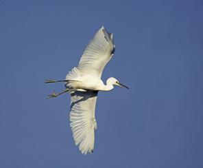 Snowy Egret juvenile flight, aug, NJ.jpg