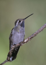Blue-throated Hummingbird, AZ, Aug.jpg